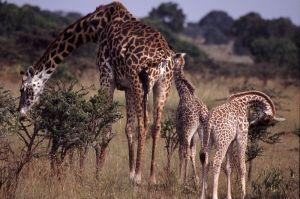 800px-Giraffe_Family