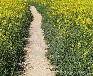 footpath-cole-seed-field-9531312