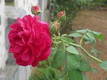 220px-Rose_flower01