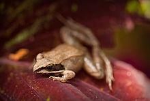 220px-Wood_Frog