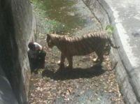 23live-tigers