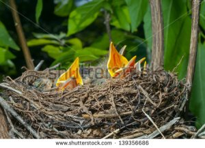 stock-photo-a-close-up-of-the-nest-of-thrush-with-small-babies-139356686