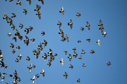 flying_pigeons_202823.jpg